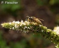 Deutsche-oder-saechsische-Wespe-2