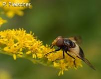 Gemeine-Waldschwebefliege