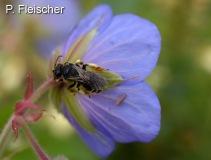 Gewoehnliche-Natternkopfbiene