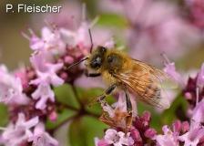 Honigbiene-mit-Milbe