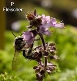 Honigbiene1